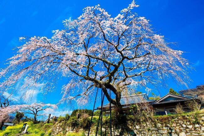 別府市東山の安楽寺に、樹齢約150年という県指定特別保護樹木のしだれ桜があります。その帰りに院内の香下ダムへ寄りました。