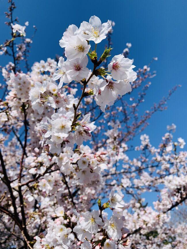 今日は有給消化日!<br />朝にランニングしてたら、とっても桜が咲き乱れていて<br />しかも週末は雨らしい…<br /><br />来年は神奈川県にいない確率が高いので<br />今のうちに&amp;サクッと春の鎌倉に行ってみる事にしました!<br />