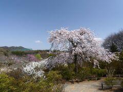 「あしかがフラワーパーク」のサクラ_2021_枝垂れ桜は見頃、他も見頃開始です(栃木県・足利市)