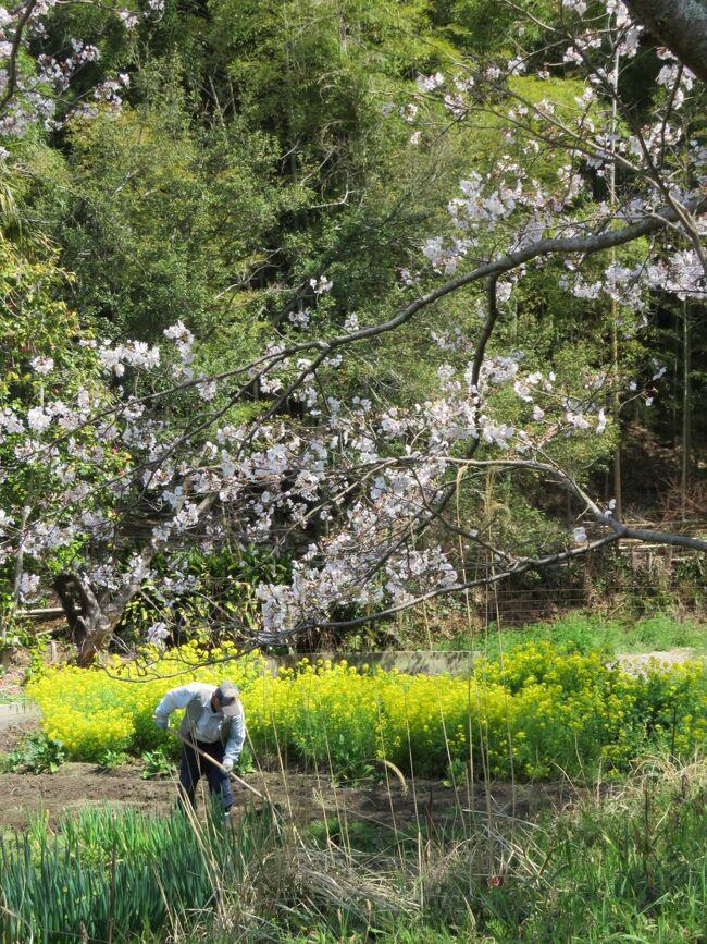 2021.3.26  金曜日 奈良県天理市、桜井市の古墳探索です。<br />奈良県 最高温度 20.4 ℃ 最低温度 7.2 ℃ 濃霧/曇り/晴れ <br />今まで最高の48カ所 殆ど自転車にて探訪です。車でも行けるのですが農道に止めての探訪で車が来ると大慌てでゆっくり出来ませんし、この道は侵入できるのか?初めての道ですので不安になります。<br />この地域は殆ど石室も見られないので遠目で残土置き場の雰囲気を確認して終わりです。<br /><br />・ノムギ古墳*<br />・クラ塚古墳<br />・波多子塚古墳*<br />・マバカ古墳<br />・栗塚古墳<br />・景行天皇陵<br />・景行天皇陵倍塚 い号(上の山古墳)<br />・崇神天皇倍塚 ろ号<br />・西ノ塚古墳<br />・下池山古墳<br />・ホックリ塚古墳<br />・西山塚古墳*<br />・空路宮山古墳<br />・二ノ瀬古墳(見つからず)<br />・東殿塚古墳<br />・火矢塚古墳<br />・燈篭山古墳<br />・中山大塚古墳<br />・小岳寺塚古墳<br />・26代/継体天皇皇后 手白香皇女 衾田陵*<br />・櫛山古墳<br />・ヲカタ古墳<br />・シウロウ塚古墳<br />・立子塚古墳*<br />・クノボ古墳<br />・12代/景行天皇陵 陪冢は号 上山、赤坂古墳<br />・珠城山古墳 1.2.3号墳<br />・平塚古墳<br />・巻野内石塚古墳<br />・サコシマ古墳<br />・小川塚西古墳<br />・小川塚東古墳<br />・雲慶寺裏古墳<br />・ホケノ山古墳 <br />・北口古墳<br />・茶の木塚古墳<br />・宮の前古墳<br />・堂の後古墳*<br />・ツヅロ塚古墳<br />・石神塚古墳<br />・ツクロ塚古墳<br />・芽原大墓古墳<br />・弁天社古墳<br />・芽原狐塚古墳<br />・箸墓古墳<br />・景行天皇陵<br />・大和天神山古墳<br />・幾坂池の一本桜<br /><br />★日本の国の文明紀元/古墳の歴史3世紀(弥生時代)と言われる天理/桜井方面の古墳の発掘調査が出来ていない古墳が多いですし畑等2次利用が非常に多いです。