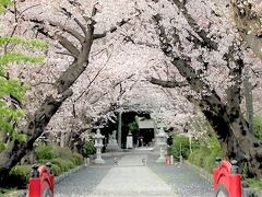 桜満開 相模の国六社さきとり神社と四之宮ふれあい広場