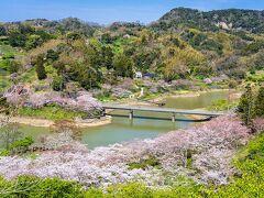 佐久間ダム湖親水公園の桜