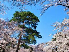 さくら名所100選 「大宮公園」の桜 2021/3/27