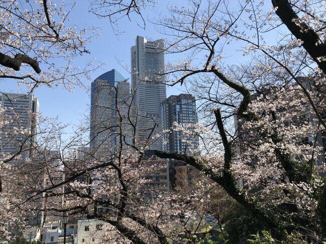 横浜・桜木町周辺の桜の名所巡りです。<br />桜木町駅からすぐの所にある掃部山公園から、伊勢山皇大神宮、野毛山公園をとおり、大岡川沿いの桜並木へ。