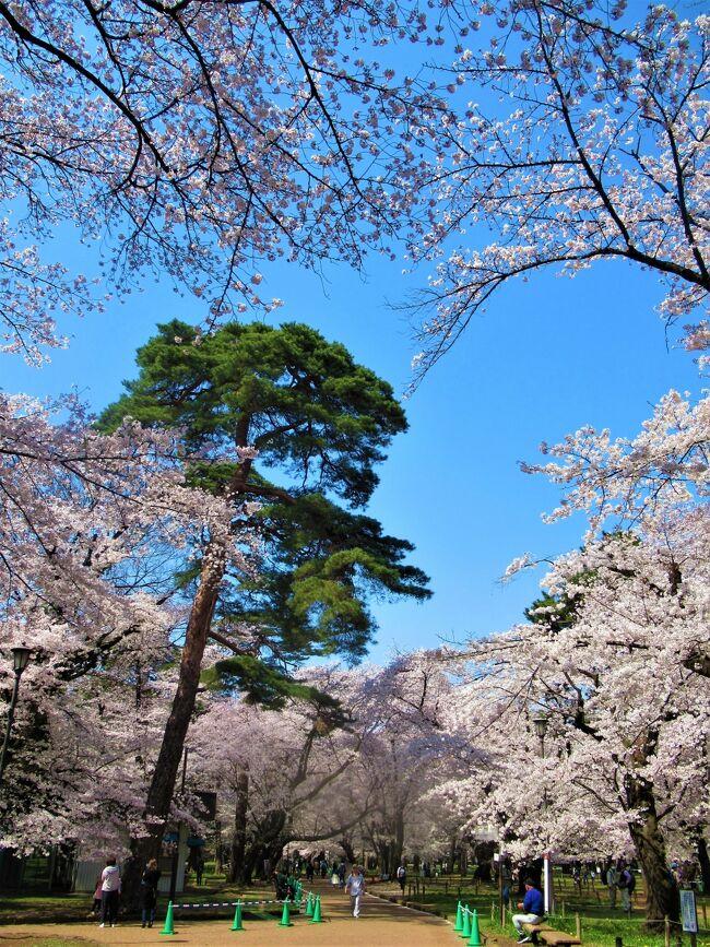 毎年のことながら 近場の「大宮公園の桜」 を見て来ました。<br />「さくら名所100選」にも選ばれている埼玉を代表するお花見スポットです。<br />今年は宴会のブルーシートも無く殆どの皆さんが歩きながら桜を見上げていました。<br /><br />口コミに載せ切れなかった撮って来た写真の羅列でとても旅行記と言えるものではありませんが、こういう際物(きわもの)には賞味期限が有って、そろそろそれも切れてしまいそう・・<br /><br />「旅行記」としてのストーリー性はカケラもないのをお許し下さい (-&quot;-)