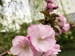柳川城堀と桜と「さげもん」めぐり