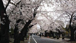 PHO的東京神出鬼没♪スタバ上野公園店がスタバ日医大店になった道すがら、左側だけを写してみたらお花見