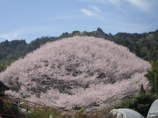 今年も桜を探してさまよいました。西条の竹細工の工房「アトリエみどりの森。」を訪問し、帰りに桜の森を見つけました。感動しました。<br />・竹細工の工房は四国霊場61番札所「香園寺」の竹林を細工し作品に仕上げています・・天然竹の味わいがあります<br />・桜は西山興隆寺の近くの「しだれ桜」と熊野神社のみごとな桜の森です。
