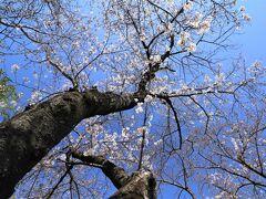 まだ咲きはじめと分かっていても桜は見たくなる♪ 城山公園&安城公園&みよし市のみよし池♪