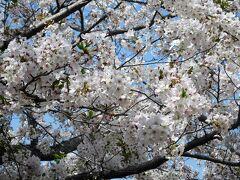 2021年3月・4月 山口県山陽小野田市 須恵健康公園の桜の移り変わり