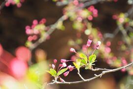 春の鎌倉 ~3月の花散歩~ (海蔵寺・安国論時・妙本寺・本覚寺)
