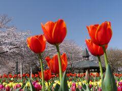 「深谷グリーンパーク」の桜とチューリップ_2021_どちらも見頃が始まりました(埼玉県・深谷市)
