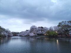 井之頭公園で、ずらし花見。