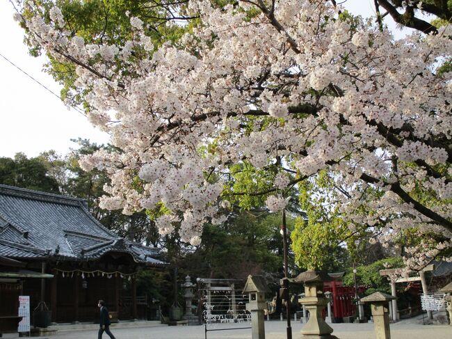 お買い物の時、諏訪神社の桜が咲いてるのを見ました。きょうはスマホしか<br />持っていません。<br />後日、少しお散歩しようとお昼過ぎ遅くに諏訪神社の桜を撮りにきました。た。<br />3月24日に家の中で座椅子に躓き、腰を強打し病院へ。骨折はしてませんと言われホッとしました。そろそろ歩きで出かけました。<br />昨年も諏訪神社で撮りました。今年は、お父さんが何処かへお花見に行こうかと言っていたので残念です。<br /><br />諏訪神社例大祭の時の写真少し。未投稿です(2019年10月5日)<br /><br />3月31日 三滝通りの桜がきれいに咲いてるよとお父さんが、ウオーキングから帰って話してくれたので、急いで撮りに行きました。<br />地元ですがここの桜を見るのは嬉しいです。<br /><br /><br /><br />