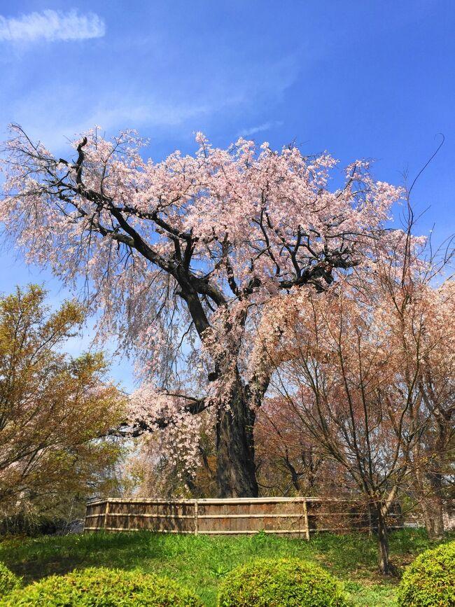 京都にお花見に行ってきました。<br />