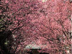 2021年02月お花見散歩:寿福寺、世田谷公園、碑文谷公園など