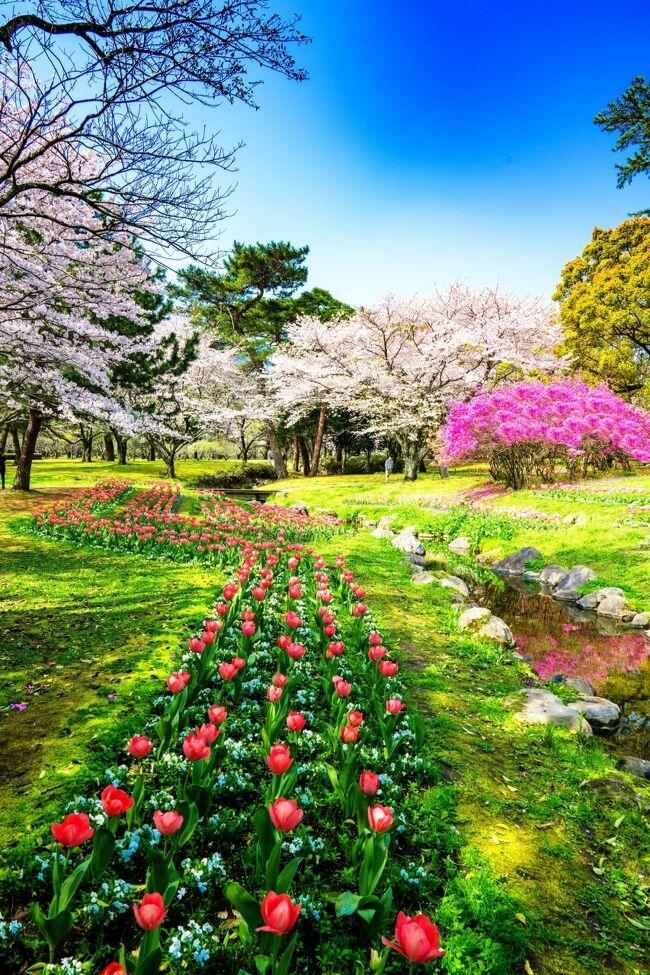 春の嵐が過ぎ去った翌日、桜に合わせてチューリップとツツジが咲き揃う別府公園へ行ってきました。