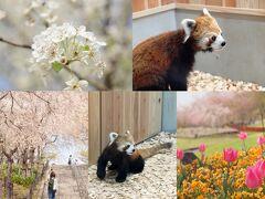 東山動物園にレッサーパンダがやってきた!桜の回廊で見る美しい桜 花畑のチューリップ