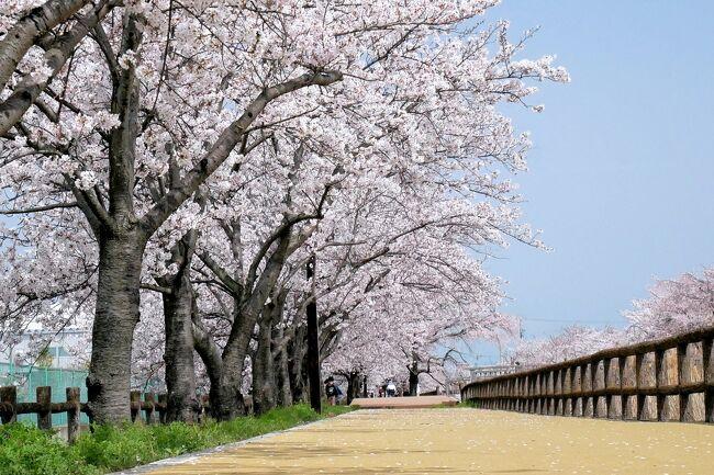 ■庭の桜が満開になったので、地元で有名な桜並木も満開だろうと、お花見散歩に行ってきました。<br />ここ、愛知県稲沢市平和町の桜並木「サクラネックレス」は満開です。<br />青空、ヒバリのさえずり、深緑の麦畑、満開のサクラを愛でました。<br /><br />■ 日光川、須ヶ谷川堰堤は桜並木がリンク状に連なることから「サクラネックレス」と呼ばれています。<br />特に須ヶ谷川堰堤の桜並木は圧巻です、満開の桜が 両側ツインで1.5km 続いています。<br />遊歩道はラバーで整備され、お年寄りや車いすの方でも安心して桜のトンネルを楽しむことができます。