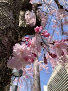 今年は早いよ!続々開花 裁判所の八重紅枝垂れ・京都御苑のいろんな桜