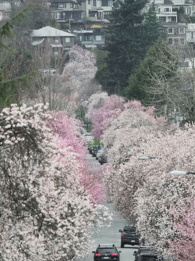 『修正版』<br />日付の変更と動画を追加しました。<br />住宅街をドライブする動画です。<br /><br /><br /><br />この季節になると、桜はいつかなぁ~~と、心が踊りますね。<br />バンクーバーは、案外桜が多い街で、期待に胸が弾むのですが、今回は その桜に先駆けて咲く、チェリープラムの並木道をご紹介です。<br /><br />チェリープラムは、桜と似ていて こちらの人は 桜もチェリープラムもひっくるめて チェリーブロッサムと呼ぶんですが、<br />正確には、桜とは違います。<br />日本人はその辺うるさくて(笑)、あれは桜じゃ無いよね~。と、いつも話題になります。<br /><br />ではなんなのか・・・というと、<br /><br />学名は Prunus Pissardii Nigra<br />チェリープラム とか purple leafed plum(紫葉梅)などと呼ばれています。<br />日本名だと 紅葉スモモとか 紫葉梅・・・とか。<br />ますます桜だか、梅だか、はたまたスモモだか・・・。<br />謎のピンクの花です。笑<br /><br />紫のきれいな葉がピンクや白の花が終わったあとにでてきて、長く楽しめる木なのです。<br /><br />あちこちにチェリープラムの並木道があるので、巡ってみましょう。<br /><br />写真は、今年撮ったものだけではなく、過去のものも混じっています。<br /><br />最近お天気が悪くて、なかなかあちこちに写真を撮りにいかれないので・・・。<br /><br />チェリープラムはほんのり香りがして、心が華やぎます。<br /><br />