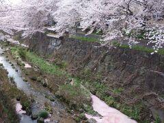 桜の花びらに埋まる山崎川。