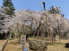 伏姫桜を見に真間山弘法寺へ