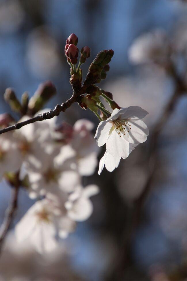 たしか3月23日、BGMとして流していたNHKニュースで、東京は桜が満開、満開と言うのを聞いて、えっ、それは大変!<br />と思い、翌日、テレワークの運動不足解消のサイクリングで、近所のお気に入り公園に向かったら、ソメイヨシノは見頃はまだまだでした。<br />よく考えたら、東京に限らず、桜は日当たりによって開花状況がずれます。<br />あのとき東京のどこが真っ先に満開になったのでしょう。<br />ただ、咲き始めている枝もありました。花とつぼみ混じりの枝は、初々しさがありました。<br />その後、近所である手軽さから、3回訪れました。<br />2日後は少し咲き進んだ桜が期待を持たせましたが、週末、レッサーパンダ遠征予定を入れてよそに行ってしまったため、3回目に訪れた時は、全体的に満開というにはぎりぎりでした。<br />でも、花筏と花絨毯も同時に愛でることができました。<br />それに、公園沿いの道路と歩道の3本の桜並木道は1番見頃だったと思います。<br /><br />※花見が再び近所の公園となったここ数年の桜の旅行記<br />2020年3月24日&3月26日<br />「ちょいと気の早かった近所の公園の桜散策~好天の気持ちの良い日を選んで」<br />https://4travel.jp/travelogue/11612631<br />2020年3月30日<br />「雪上がりの散り始めの満開の桜散策~雪がやんだあとはあっという間に溶け始めた春の幻想」<br />https://4travel.jp/travelogue/11613646<br /><br />2019年4月7日<br />「間に合った見頃のカッパ伝説のある近所の公園の桜~薄曇りの中でホワイトバランスを変えて遊びながら」<br />https://4travel.jp/travelogue/11478105<br />2018年3月25日<br />「満開まであと一息の桜散策~人混みに出なくてもゆっくり花見ができる近所の公園にて」<br />https://4travel.jp/travelogue/11342316<br />2017年4月8日&4月10日<br />「薄曇りの桜満開の公園は幻想的な世界」<br />http://4travel.jp/travelogue/11231717<br /><br />※同じ近所の公園のこれまでの旅行記のURL集は末尾にまとめました。<br />