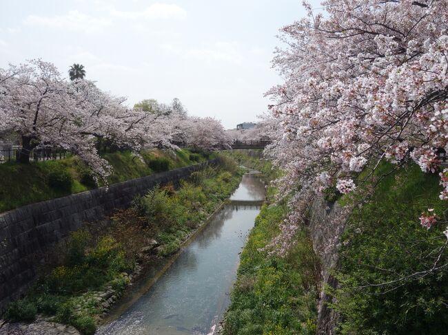 山崎川に沿った桜並木も満開を迎えました。
