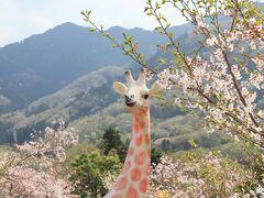 相模湖リゾート・プレジャーフォレストで桜散歩・・・