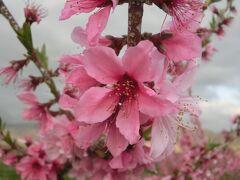 2021春 山梨:山梨百名山の小楢山、乙女高原、ほったらかし温泉と桃の花