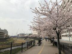 横浜市・柏尾川の桜並木