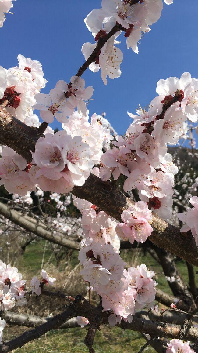 ずっと前から見たかった、満開のあんずの花。ようやく念願が叶いました。そして、憧れの花かたくり。今年は花の時期が早く間に合わなかったと思いきや、まだがんばって咲いていてくれました。さらに、満開の桜、桃の花まで。あぁ、日本の春はかくも美しい。感動の連続の花旅です。