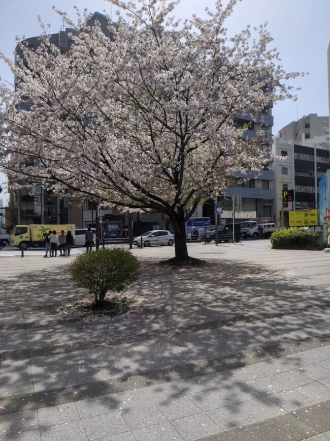 今年は早かった桜の命…<br />まるでコロナ禍で花見を控える様に散って仕舞ったかの様です。<br />毎週、日曜日は天気が崩れるパターン…<br />残念ながら、桜をゆっくり見る暇も取れませんでした、残念です。<br />それでも挫けずに散り際の所用のついでに桜見物が出来ました。<br />プラス宝くじ売り場の様子です。<br />新型コロナウイルス感染拡大防止の為、GO Toも停止して暇が増えて実入りは減ったものですから、宝くじ売り場に足を運ぶ機会が増えました。<br />情けないのですが、こんな事でもしないと毎日が単調になって仕舞います。<br />一日も早く、気兼ねなく出掛けられる様になりたいですね。