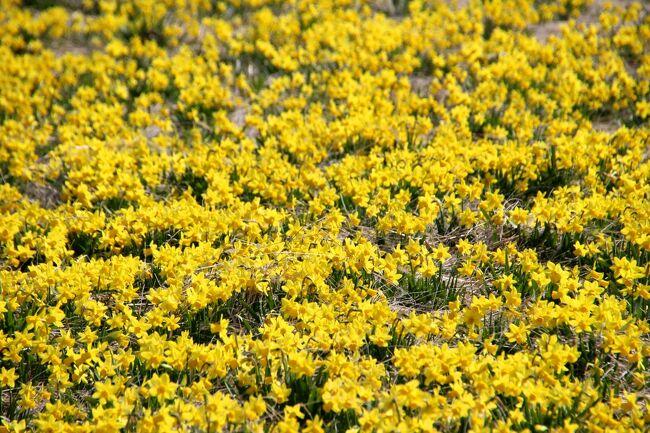 """☆今年も隣り町の""""水仙の丘""""が見頃になりました。<br />この""""水仙の丘""""は当町と隣り町の境界にあり8年前までは<br />""""菜の花の丘""""として紹介していたのですが<br />7年前、突如""""水仙の丘""""に大変身。<br />北海道の美瑛の丘にも勝るとも劣らない見事な<br />黄色い水仙の絨毯になりました。<br /><br />でも見事な""""水仙の丘""""だったのは2014年だけ、<br />球根の出荷が終えたのちはまたいつもの<br />""""菜の花の丘""""に戻ってしまいました(^_^;)。<br />菜の花だって十分美しいのですが水仙があまりに見事だったので正直がっかり。<br /><br />もう水仙は見れらないものだと思っていたらなんと翌年も菜の花に混じって<br />水仙もポツポユ咲いているではありませんか。<br />おそらく出荷の際に採り残された球根がかなりあったのでしょう。<br />2014年のような豪華さはありませんが、<br />その後スイセンは少しずつ増え毎年美しい花の絨毯を楽しませてくれています。<br /><br />観光地でもない普通の農地ですが、<br />そんじゅそこらの観光花畑に負けない美しさです。<br />4月中旬くらいまでは見頃が続くと思うのでお近くの方は<br />ぜひお出でください。<br />ただし、けして観光地ではなく個人の農地なので<br />迷惑をかけないようマナーを十分に守ってご覧くださいね。<br />"""