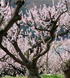 団塊夫婦の日本の絶景を巡るドライブ・春の富山ー(4)日本版フンザ?・信州松代の杏の里へ
