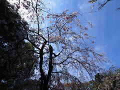 平安神宮の桜を