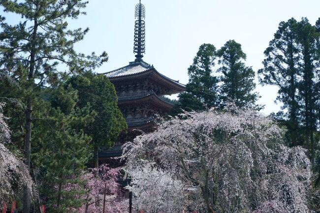 京丹後の海から京都のランチ、湯葉丼のつもりがインターを通り過ぎてしまい、渋滞している京都南インターで降りた。<br />ではなるべく空いているお寺をめざして出発。醍醐寺は1300本の桜とのこと。市内からは外れているからさて、混み具合は?<br />