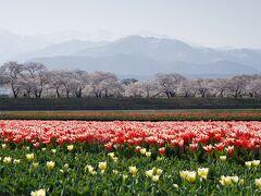 春に本気を出した富山の噂を聞きつけて訪れた「あさひ舟川春の四重奏」