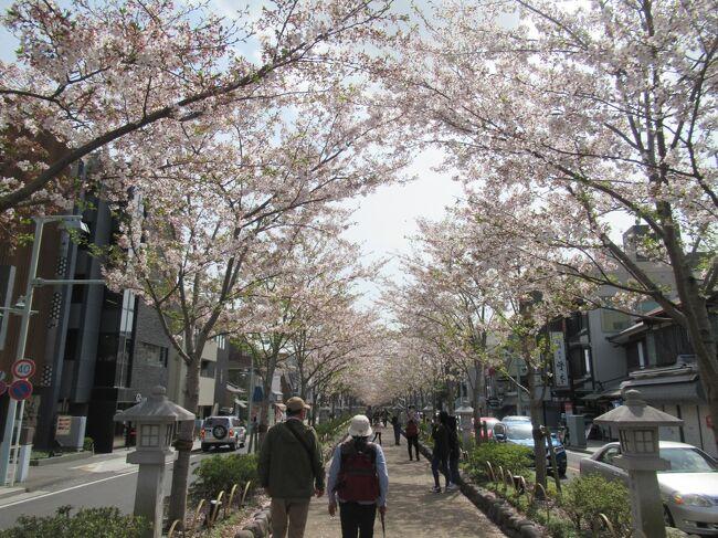 鎌倉でお花見散策。<br />残念ながら桜は終わりかけでした。