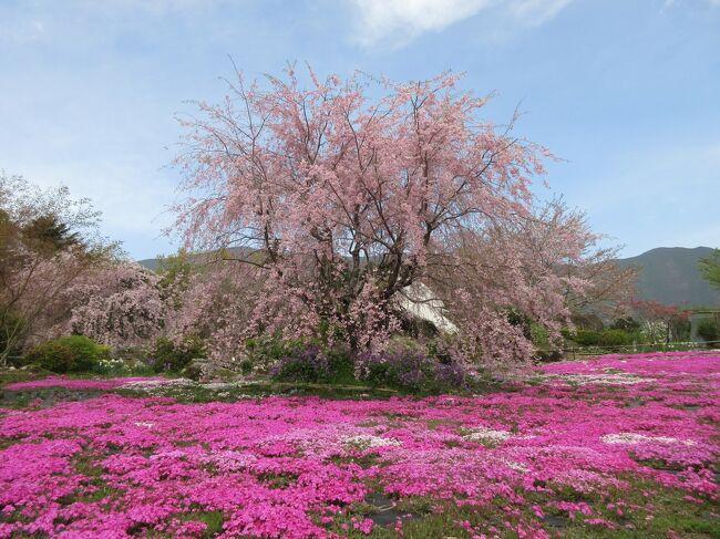 芝桜が咲き始めました。宇和島市津島町にある山本牧場に行ってみます。<br />満開の芝桜はもう少し後の方が良いかもしれませんが、しだれ桜が綺麗なうちに行って見たいので<br />ドライブして芝桜と枝垂桜を堪能して来ました。<br />