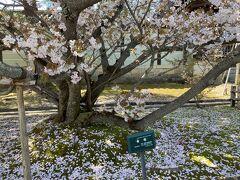 桜2021 京都 御室仁和寺