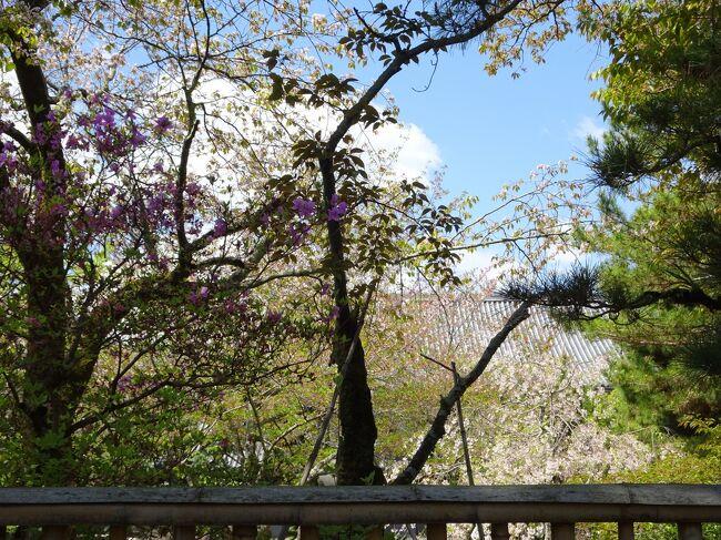 タイトルに桜を入れたかったのですが、実際桜はかなり散っていました。<br />きっかけは、朝刊の桜だより。<br />五分咲きの欄に大覚寺があり「これからの桜なら」とかなり期待しての出発でした。<br />大覚寺の大沢池の周りは、良い雰囲気のある場所です。<br />桜と大沢池、これはかなりの風景を楽しむことができるはずです。<br />桜は、かなり少なかったのですが、大覚寺、華道祭が行わているなど、見どころも多かったです。<br /><br />【写真は、だいぶ散ってしまっている大覚寺の桜です】<br />