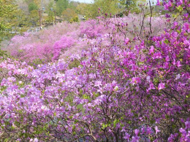 3月29日にソメイヨシノを初めて見に行きました。<br />この時はソメイヨシノが満開でした。<br />4月中旬に咲くミツバツツジがところどころで咲いていたので、サトザクラとミツバツツジも今年は早いかな…と思い見に行きました。<br />ちょうど見頃で、やはり1週間は開花が早いようです。<br /><br /> 4月18日がつつじまつりですが、その時は終わっている木が多いかもしれません。