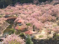 「一心寺のぼたん桜」「原尻の滝のチューリップ」春の花を愛でるお花見旅①(ぼたん桜)