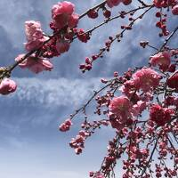 サクラサク?**①笛吹の花桃&三代校舎の桜~ようこそ、天空の楽園ホテルへ~
