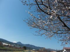 はやっ!!もう桜満開ですか~?(@_@;)