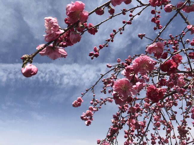 昨年の秋 母と紅葉の三代校舎を訪れた時<br />「ここは春は桜が見事だろうね」<br />「来年は春に来てみようか」<br />「春は笛吹の花桃も見られるね」<br />なんて話してたんです。<br /><br />というわけで<br />昨年秋から楽しみにしていた今回の山梨旅行!<br />最初は4月初めに予定したけど、調べたら三代校舎の桜の見頃は4月中旬。。<br />じゃあ中旬にしようか~<br />でも今年はあったかいし、もうちょっと早いかも?<br /><br />キャンセルして予約取り直したり<br />なんだかんだやって結局8日から1泊で行くことにしました!<br /><br />桜の見頃としてはちょっと遅くて<br />散り始め(てか、かなり散ってる)でしたが<br />場所によって満開の桜も楽しめたり♪<br /><br />美味しいごはんと美味しい空気、<br />綺麗な景色に癒されリフレッシュ!<br />とっても楽しい山梨旅行でした!<br />いいぞー山梨!<br />最近かなりお気に入り♪