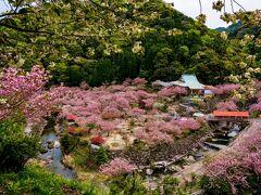 一心寺の八重桜 2021