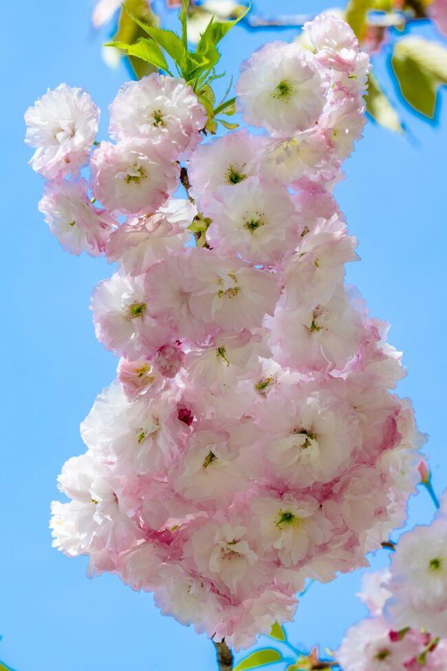 「真玉桜園」は、村長・町長を35年間務めた元町長の旧邸跡400坪に、15種約60本のサトサクラ、シダレサクラなど桜を植えた庭園です。八重桜が見頃を迎え、一般公開しています。